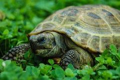 Tortoise on the grass Stock Photos