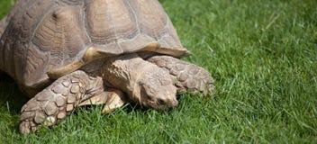 Tortoise on grass Stock Photo