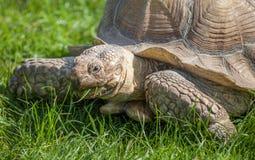 Tortoise on grass Royalty Free Stock Image