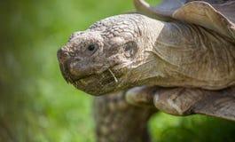 Tortoise on grass Stock Image
