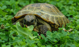 Tortoise on the grass Stock Images