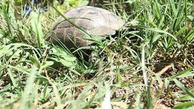 Tortoise in the grass stock video footage