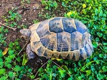 Tortoise on green royalty free stock image