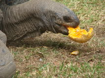 Tortoise having lunch. Tortoise having a pumpkin for lunch royalty free stock images