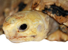Tortoise head. A close up head shot of a tortoise. In China Stock Photos