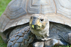 Tortoise Head Stock Photography