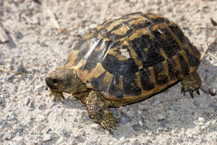 Tortoise Hermann - hermanni Testudo Στοκ φωτογραφίες με δικαίωμα ελεύθερης χρήσης
