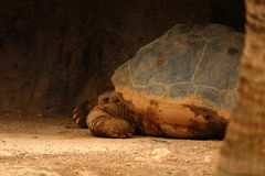 Tortoise hiding. Old tortoise hiding inside a cave like formation. Photo shot from behind tree Stock Photo