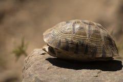 Tortoise hiding in shell Stock Photo