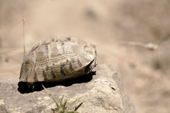 Tortoise hiding in shell. Tortoise, laying on a boulder, hiding in its shell stock image