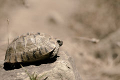 Tortoise hiding in shell Royalty Free Stock Photography