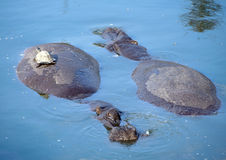 A tortoise hitches a ride on a  hippopotamus Stock Photo