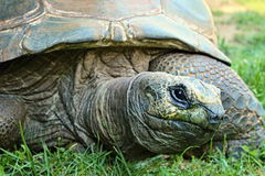 Tortoise huge. Big turtle in the grass royalty free stock image