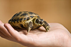 Tortoise on the human hand Stock Images
