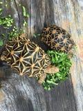 Tortoise indiano della stella Fotografia Stock