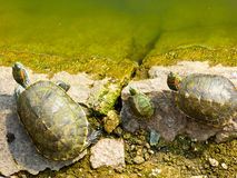 Tortoise inside Zhanshan Temple. A turtles family near a pool inside Zhanshan Temple in qingdao city shandong province China Royalty Free Stock Photo