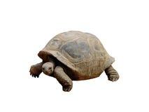 Tortoise isolated. On white background Stock Image