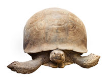 Tortoise isolated on white with clipping path royalty free stock image
