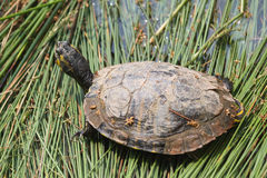 Tortoise on lake Stock Photography