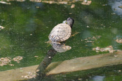Tortoise on lake Royalty Free Stock Photography