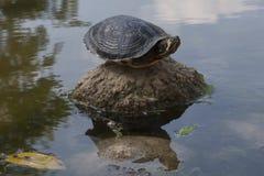 Tortoise on lake Stock Photos