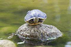 Tortoise on lake Stock Image