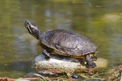 Tortoise on lake Royalty Free Stock Photos