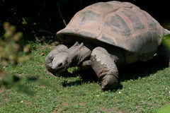 Tortoise (land turtle). Land-dwelling reptile of the family of Testudinidae, order Testudines Stock Images
