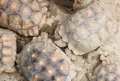 Tortoise, Land turtle Royalty Free Stock Images