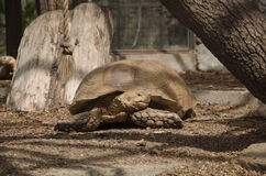 The tortoise lays royalty free stock image