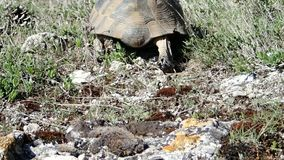 Tortoise leaving the frame stock footage