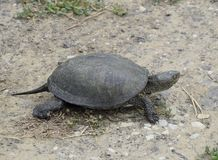 The tortoise lies on bare soil. Ordinary river tortoise of temperate latitudes. The tortoise is an ancient reptile. Stock Images