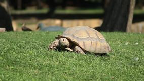 This tortoise like to eat alot. When I say this tortoise like to eat, oh my god, he really is a fan of eat stock footage