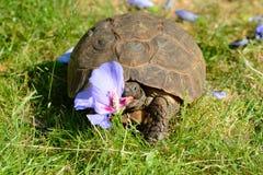 Tortoise lubi colourful jedzenie! Zdjęcia Stock