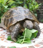 Tortoise and lunch 2 Stock Photo