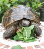 Tortoise and lunch 3 Royalty Free Stock Images