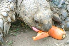 Tortoise. Lunchtime carrot tortoise t flag farm durban Royalty Free Stock Photos