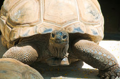 Tortoise from Mauritius Royalty Free Stock Image