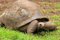 Tortoise in Mauritius. Park of Seven coloured Earth Royalty Free Stock Photography