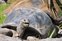 Tortoise mouth open Royalty Free Stock Photography