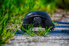 Tortoise on the move. After spotting another animal Stock Photo