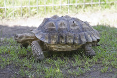 Tortoise moving Royalty Free Stock Images