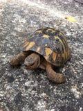 Tortoise. My little friend Royalty Free Stock Photos