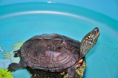 Tortoise. My tortoise pet on the  stone Stock Photography