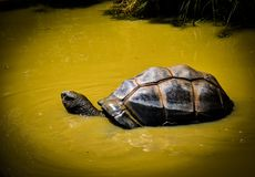 Tortoise in native habitat. Tortoise swimming in muddy stream and probably looking for food Stock Photos