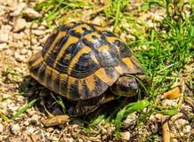 Tortoise Royalty Free Stock Photo