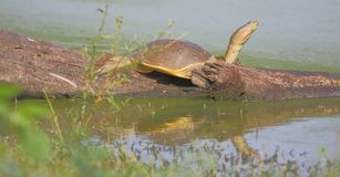 Tortoise in nature. Tortoise sitting on the branch of broken tree in the water of the lake. beautiful and natural view. this picture click at thol bird sanctuary royalty free stock photos