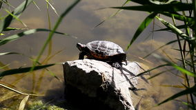 Tortoise near a pond in the wild. A tortoise near a pond in the wild stock video
