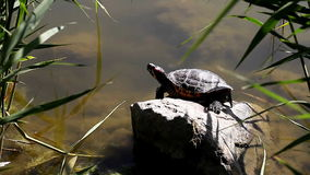 Tortoise near a pond in the wild stock video
