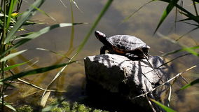 Tortoise near a pond in the wild. A tortoise near a pond in the wild stock video